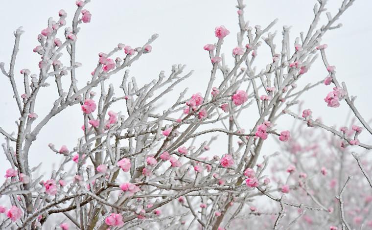 雲南彌勒:冰淩桃花美如畫